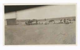 Sheep on Navajo Reservation