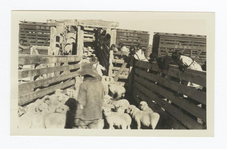 Loading Jicarilla Lambs at Dulce, New Mexico
