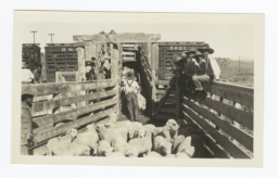 Loading of Jicarilla Lambs for Shipment, Ducle, New Mexico