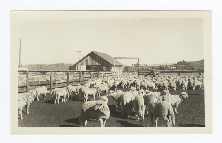 Jicarilla Lambs Ready for Shipment, Dulce, New Mexico