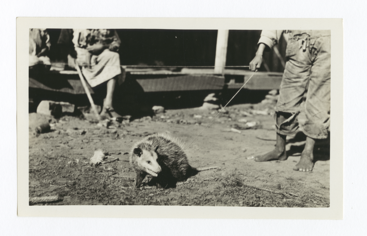 Young Possum under Leash, Cherokee County, Oklahoma