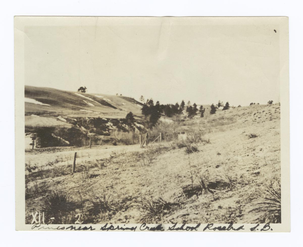 Pines near Spring Creek School, Rosebud Reservation, South Dakota
