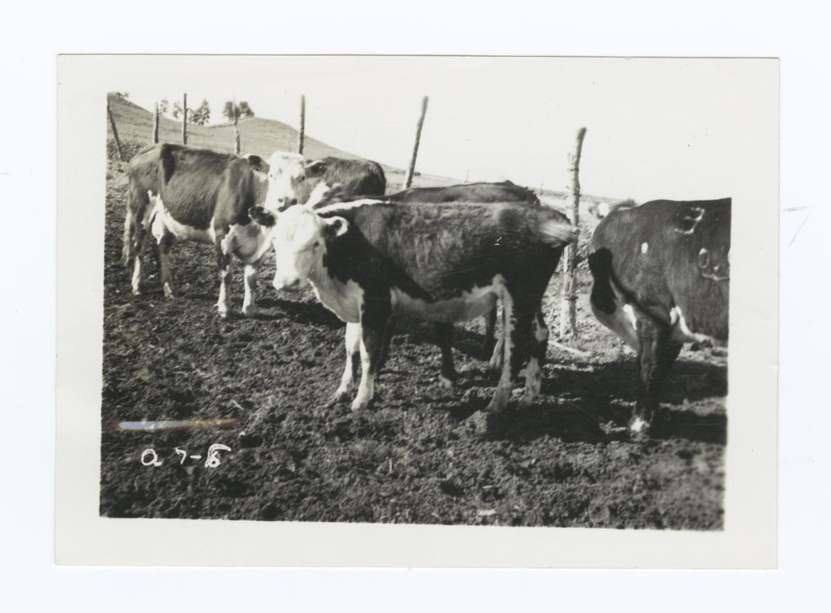 Repayment Cattle, Rosebud Reservation, South Dakota