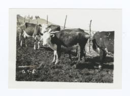 Repayment Cattle, Rosebud Reservation, South Dakota