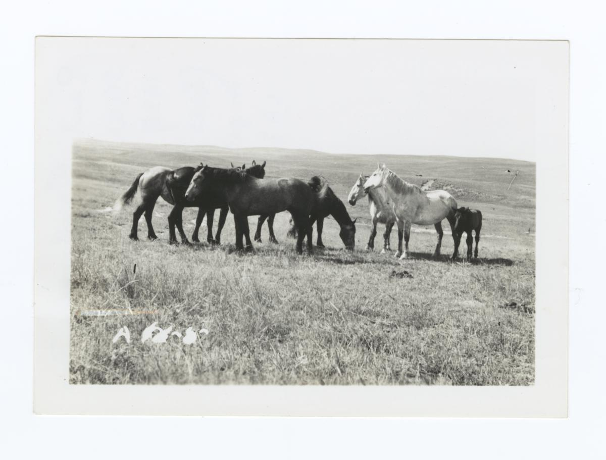 Paul Cloudman's Grazing Horses