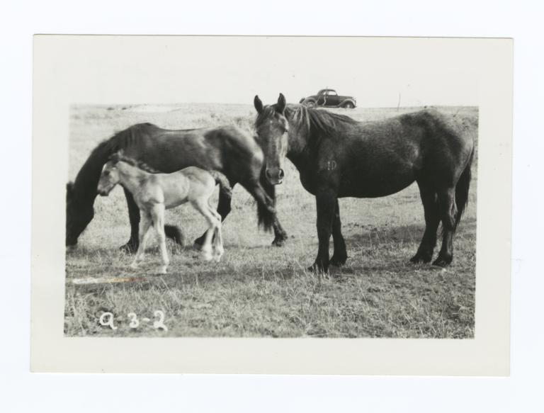 Three Horses Belonging to Rufus Thin Elk