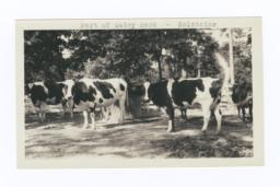 Dairy Herd, Holsteins